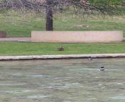 Duck rape! Duck rape! Live duck rape! (NSFW, lewd language) from dr and rape